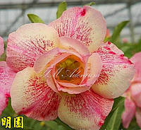 Адениум семена Pink panther