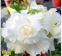 Адениум семена White Valentine Day
