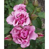 Роза флорибунда Санта Моника