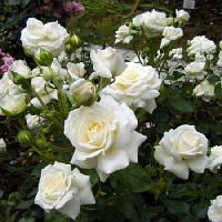 Роза Флорибунда Сноуфлейк