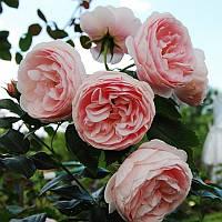 Роза флорибунда Ханс Гоневейн Роуз
