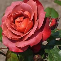 Роза флорибунда Хот Кокоа