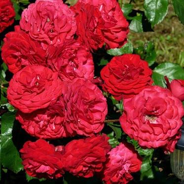 Саженцы розы флорибунда Европеана (Rose Europeana)
