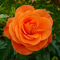 Роза флорибунда Супер Трупер (Super Trouper)