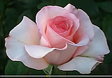 Роза Фламинго. (ввв). Чайно-гибридная роза, фото 3