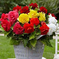 Бегония махровая смесь цветов 10 драже
