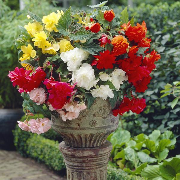 Бегония ампельная (свисающая) смесь цветов 10 драже