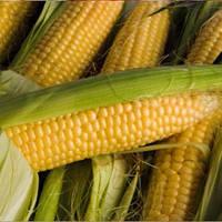 Семена кукурузы Монблан Экстра