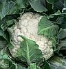 Семена цветной капусты Каспер F1 2500 семян Rijk Zwaan
