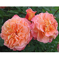 Роза чайно-гибридная Августа Луиза (Augusta Luise)