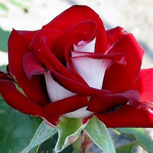 Саженцы чайно-гибридной розы Альянс (Rose Alliance)