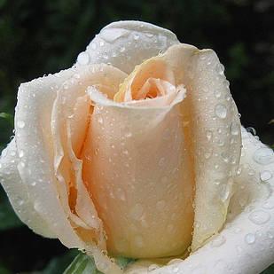 Саженцы чайно-гибридной розы Осиана (Rose Osiana, Oceana)