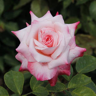 Саженцы чайно-гибридной розы Биг Эпл (Rose Big Apple)
