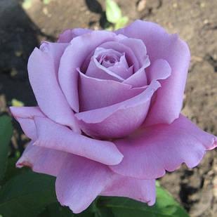 Саженцы чайно-гибридной розы Блу Нил (Rose Nil Blue)