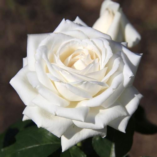 Саджанці троянди чайно-гібридної Боїнг (Rose Boeing)