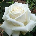 Саджанці троянди чайно-гібридної Боїнг (Rose Boeing), фото 2