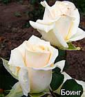 Саджанці троянди чайно-гібридної Боїнг (Rose Boeing), фото 3