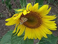 Семена подсолнечника Сирена посевной материал