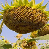 Семена подсолнечника Славсон фракция стандарт