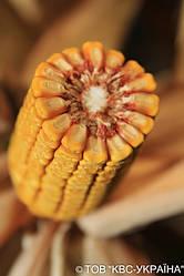 Гібрид кукурудзи КВС 2370