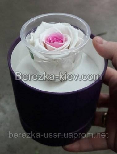 Стабилизированная роза в черной коробке (белая с розовой серединкой)