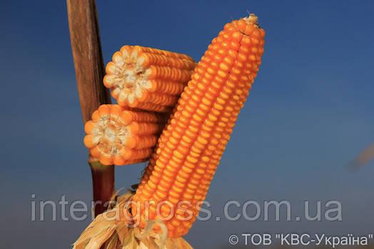 Купить Гібрид кукурудзи Еміліо
