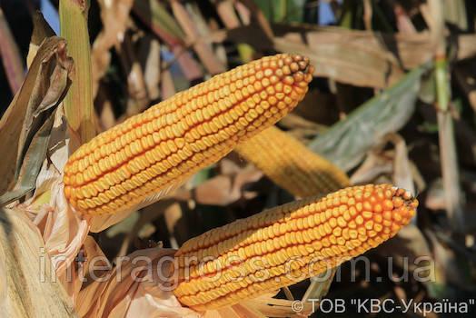 Купить Гібрид кукурудзи КВС 6471