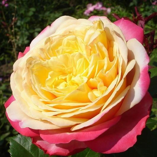 Саженцы розы чайно-гибридной Юбилей Кордеса (Rose Kordes' Jubilee)