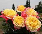 Саженцы розы чайно-гибридной Юбилей Кордеса (Rose Kordes' Jubilee), фото 2