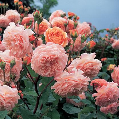 Саджанці чайно-гібридної троянди Леандра (Rose Leander)