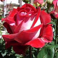 Роза чайно-гибридная Люксор