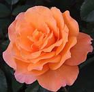 Саджанці троянди чайно-гібридної Тіа Тайм (Rose Tea Time), фото 2