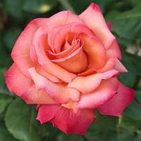 Роза чайно-гибридная Христофор Колумб