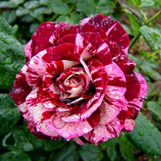 Саженцы розы чайно-гибридной Хулио Иглесиас (Rose Julio Iglesias)