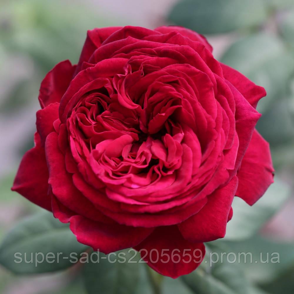 Саженцы чайно-гибридной розы Gospel