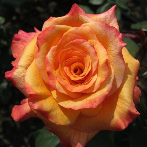 Саджанці чайно-гібридної троянди Конго (Rose Kongo)