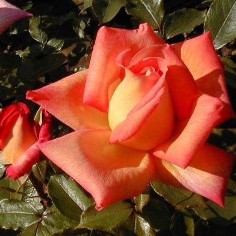 Саджанці троянди чайно-гібридної Пікаділлі (Rose Piccadilly)