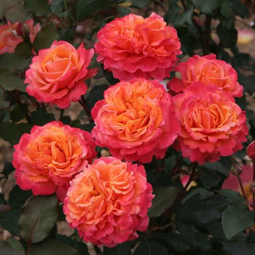 Саженцы розы флорибунда Френези (Rose Frenesie)