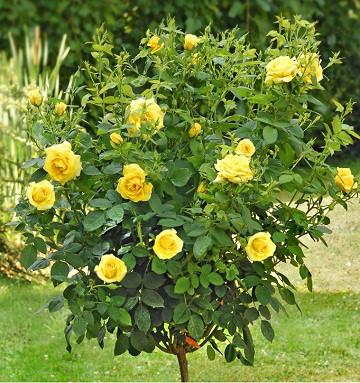 Саженцы штамбовой розы Еллоу Долл - Yelloy Doll