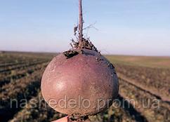 Семена свеклы Бебибит 25000 семян Rijk Zwaan