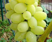 Саженец винограда Лора ( ранний )