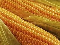 Семена кукурузы НС-3014, Днепропетровская область