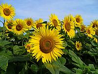 Насіння соняшника Субаро під Експрес гранстар