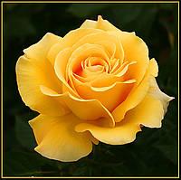 Троянда жовта чайно-гібридна Papilon (Папілон)