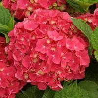 Гортензия Hot Red (Хот Ред), фото 1