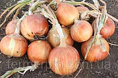 Семена лука Рино F1 250.000 семян Nickerson-Zwaan