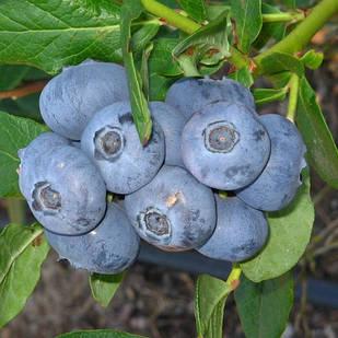 Саженцы Голубики Патриот - средняя, крупноплодная, урожайная