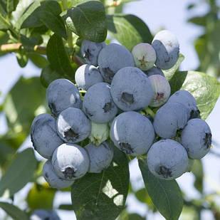 Саженцы Голубики Река (Reka) - ранняя, промышленная, урожайная