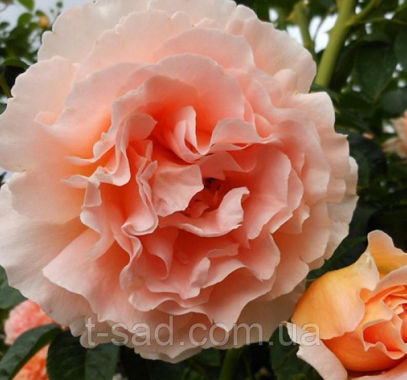 Роза Polka 91 корень ОКС