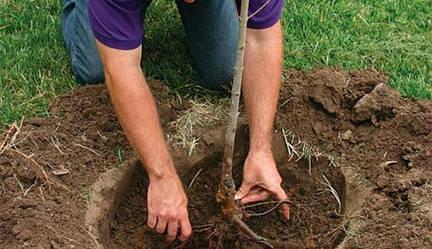 Як правильно посадити плодове дерево